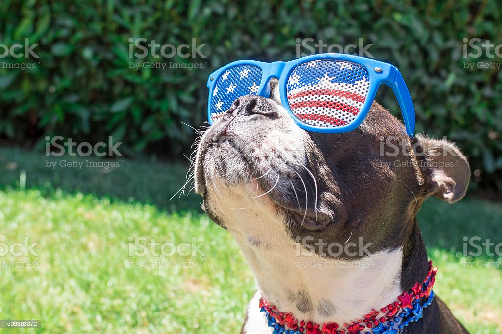 Boston Terrier Dog Looking Cute in Stars and Stripes Sunglasses stock photo