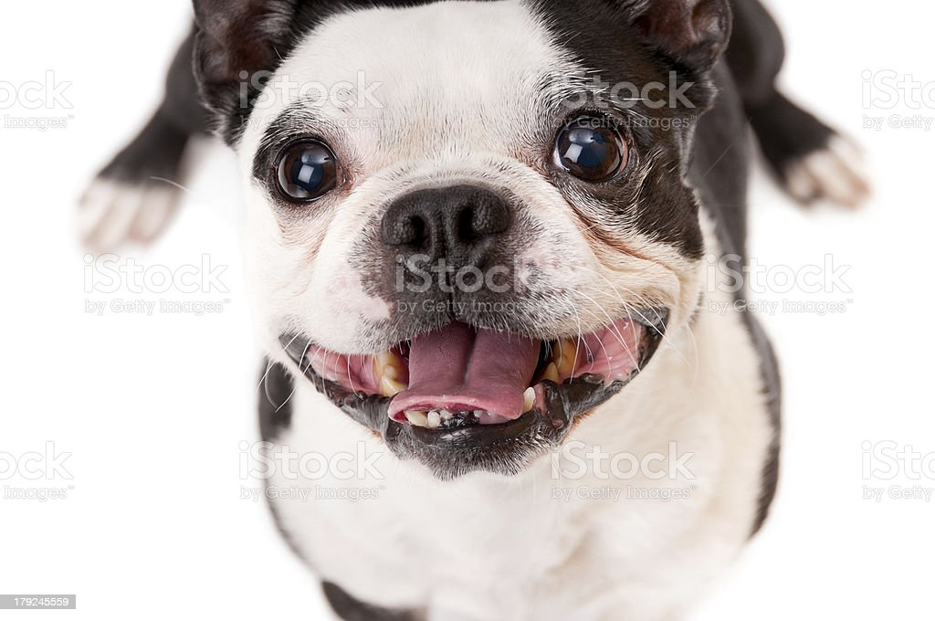 Boston Terrier Dog on white background looking up royalty-free stock photo