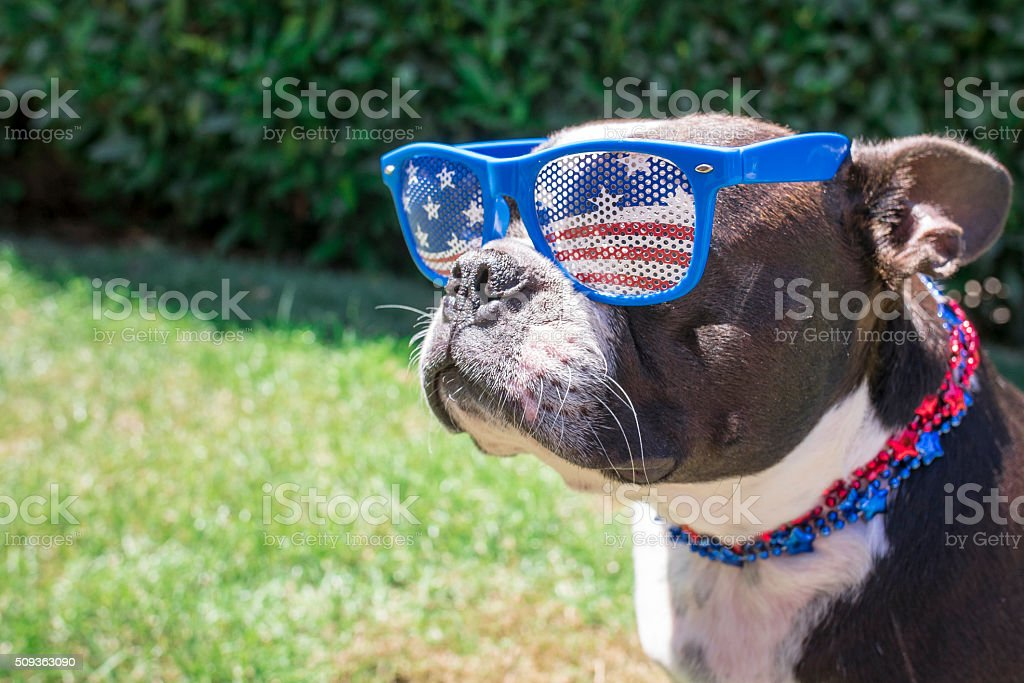 Boston Terrier Dog Wearing Fourth of July Sunglasses and Necklace stock photo
