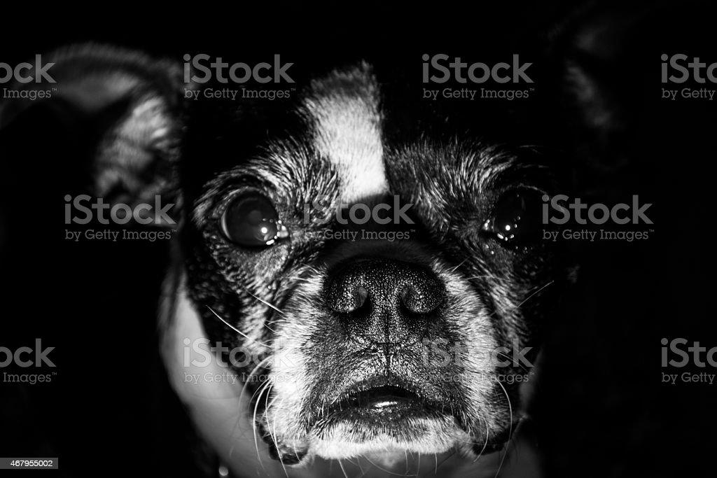 Boston Terrier Face Dark Black Monochrome stock photo