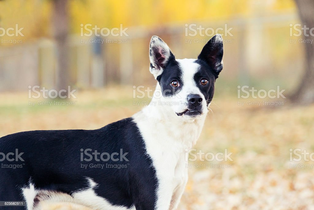 Boston terrier heeler mix dog outdoors looking at camera stock photo
