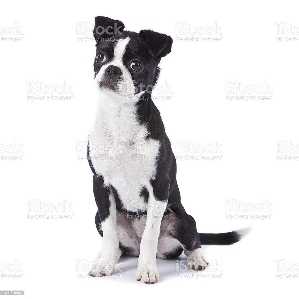 Boston Terrier Japanese Chin royalty-free stock photo