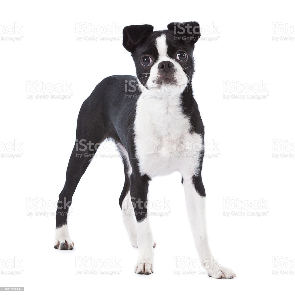 boston terrier japanese chin stock photo 182729337 istock