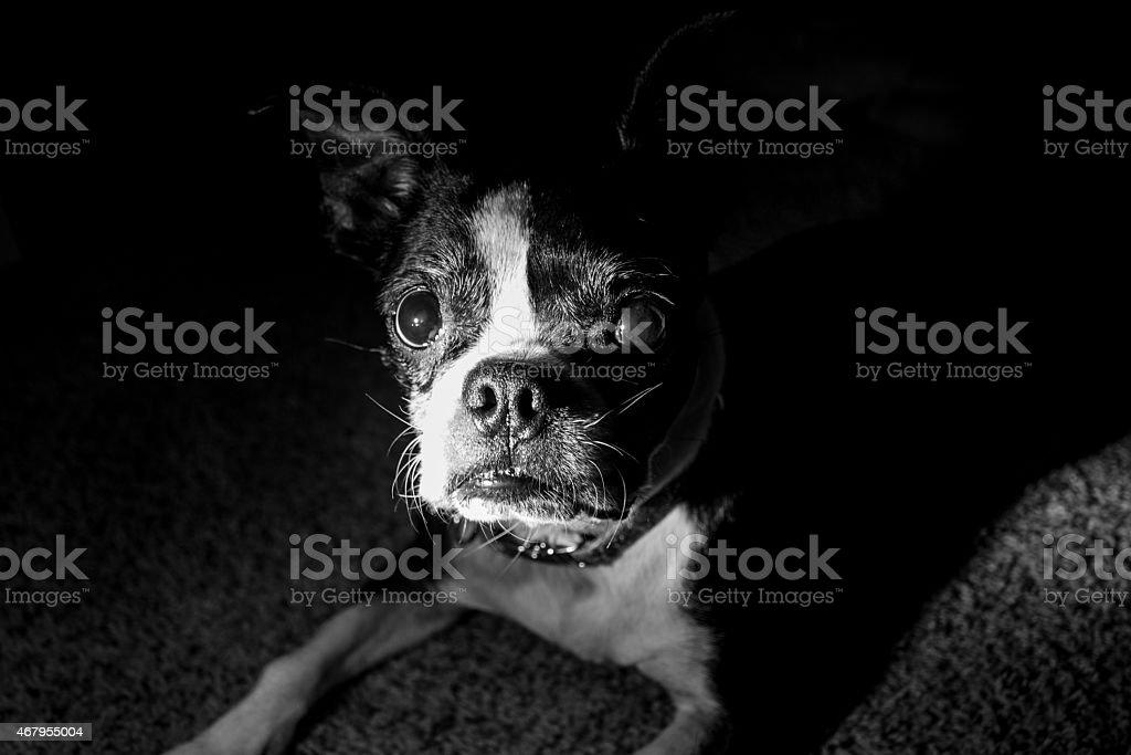 Boston Terrier Looking Straight at Camera Dark Deep Shadow stock photo