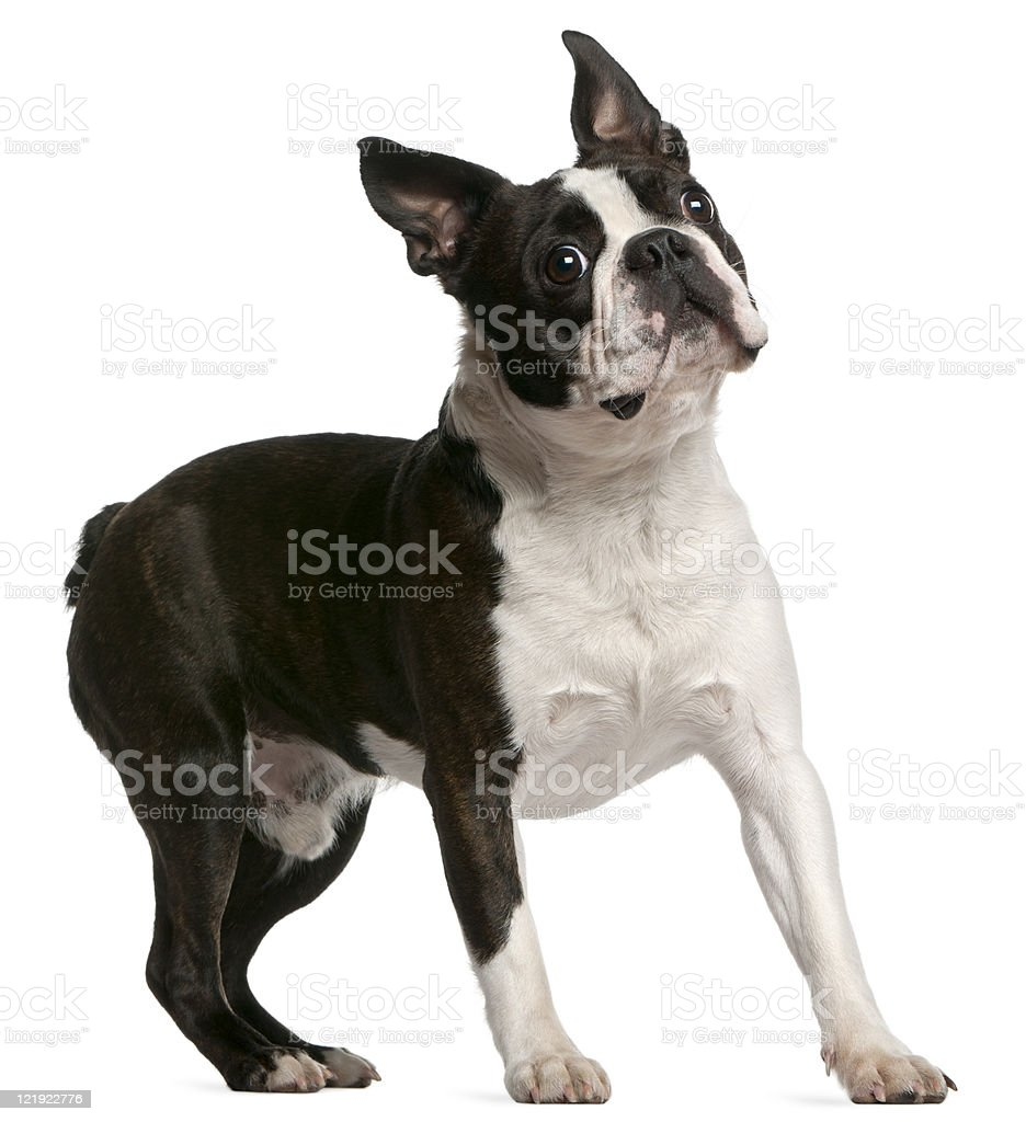 Boston Terrier, one year old, standing, white background. stock photo