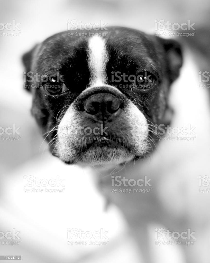 Terrier de Boston foto de stock libre de derechos