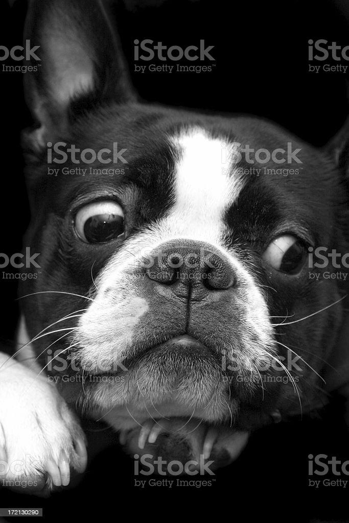 Boston Terrier royalty-free stock photo