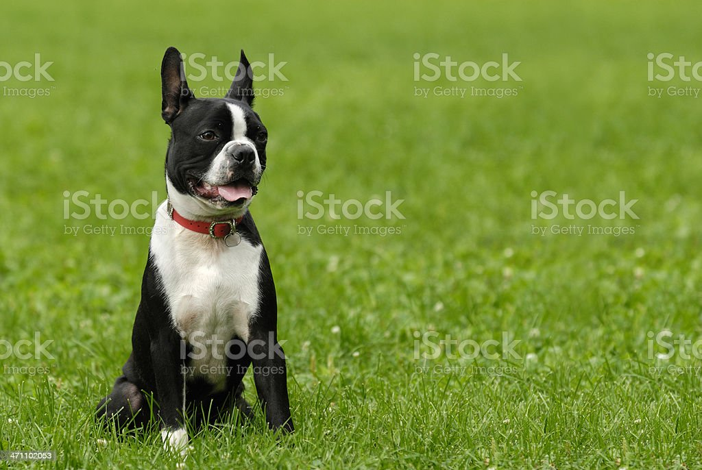 Boston Terrier royalty-free stock photo