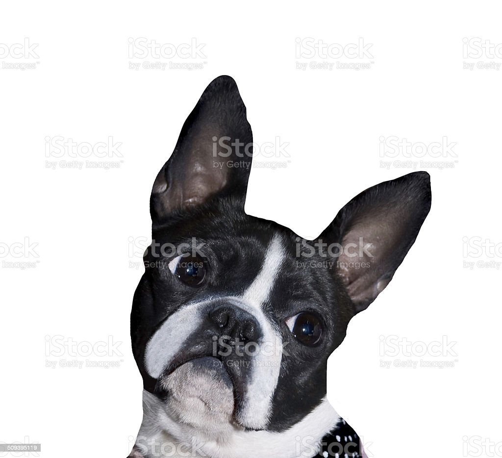 Boston Terrier portrait royalty-free stock photo