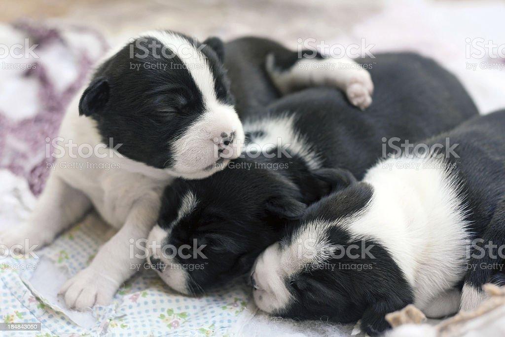 Boston Terrier Puppies stock photo