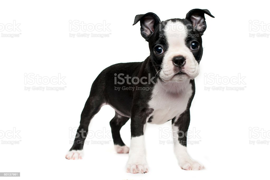 Boston Terrier Puppy royalty-free stock photo