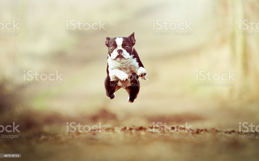 A Boston Terrier puppy tuning and jumping down a dirt path stock photo