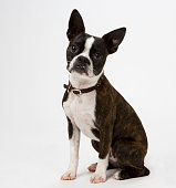 Boston terrier sitting in a pose