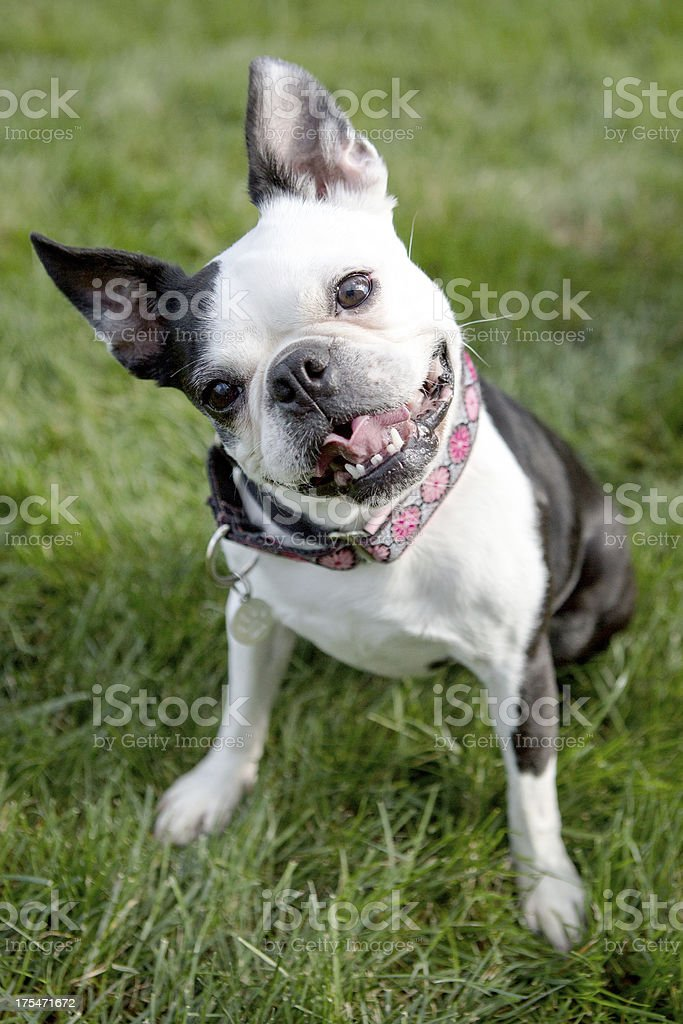 Boston Terrier Sitting on the Grass royalty-free stock photo