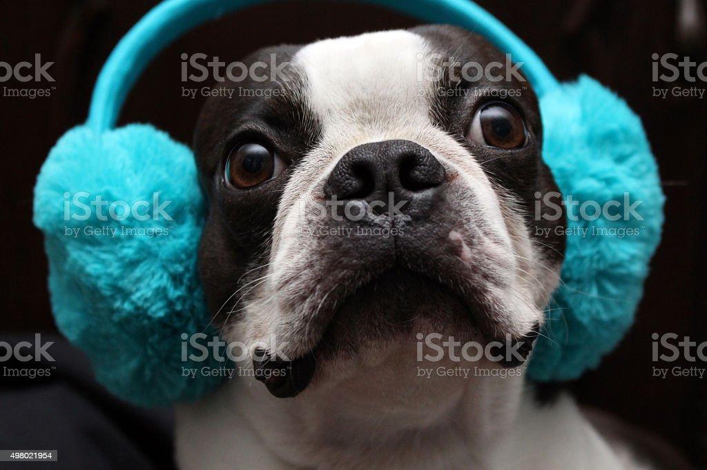 Boston-Terrier stock photo