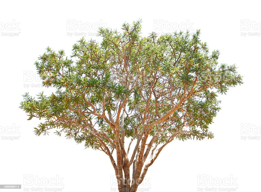 Boswellia tree isolated on white stock photo