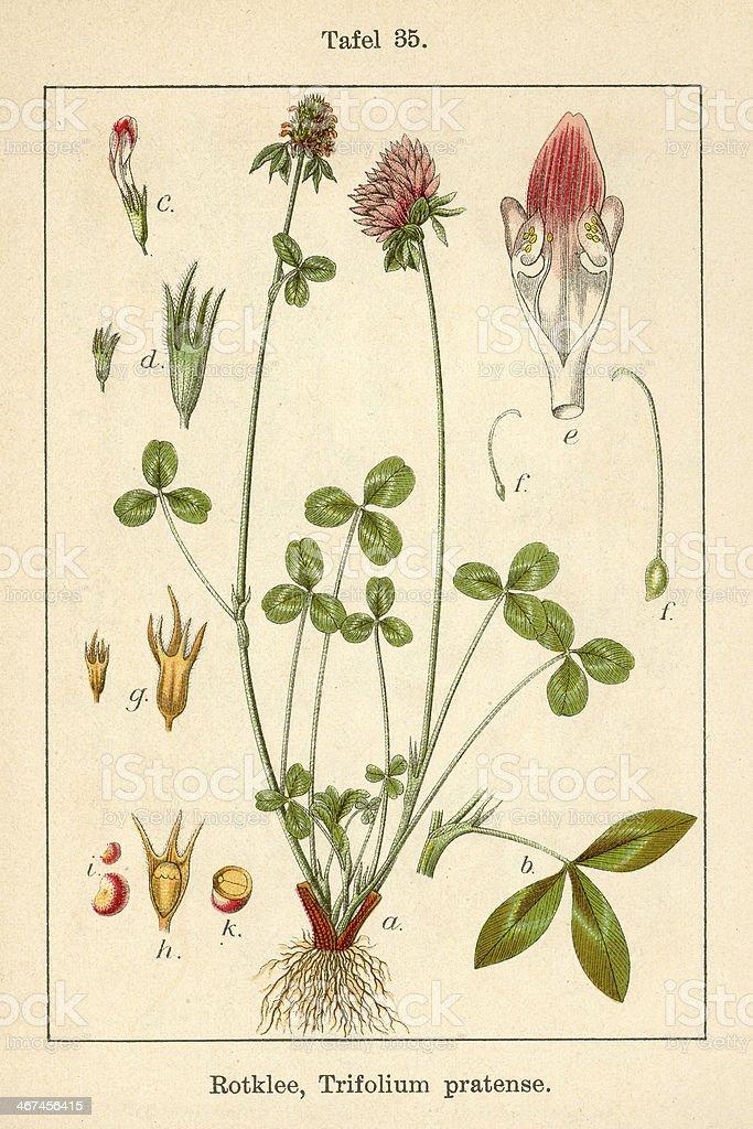 Botanic FiA v09 t35 Trifolium pratens stock photo
