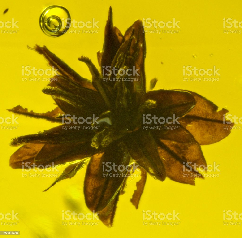 Botanical Fossil Inclusion on Dominican Amber Dicotyledon stock photo