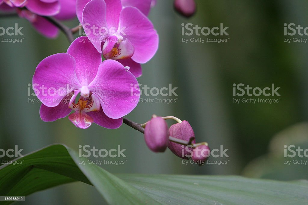 Botanical garden orchid pink royalty-free stock photo