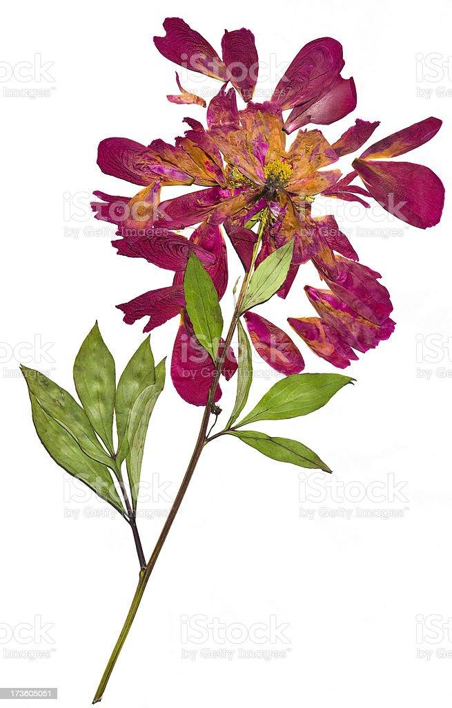 Botanical plant. royalty-free stock photo