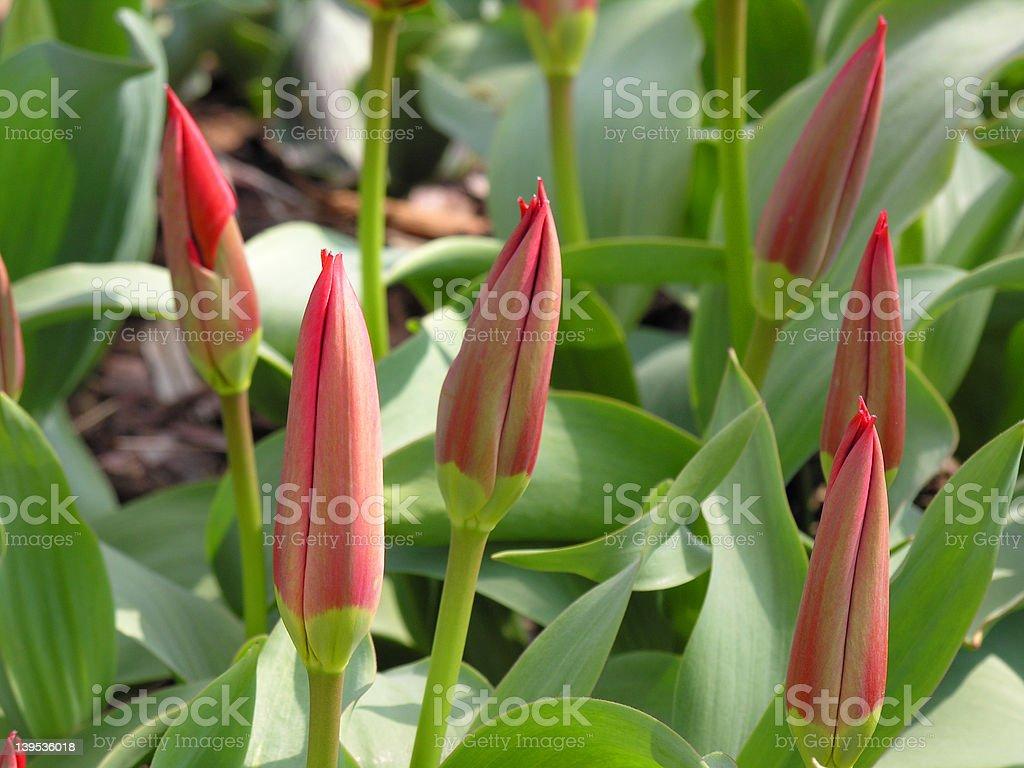 Botanical tulips - buds royalty-free stock photo