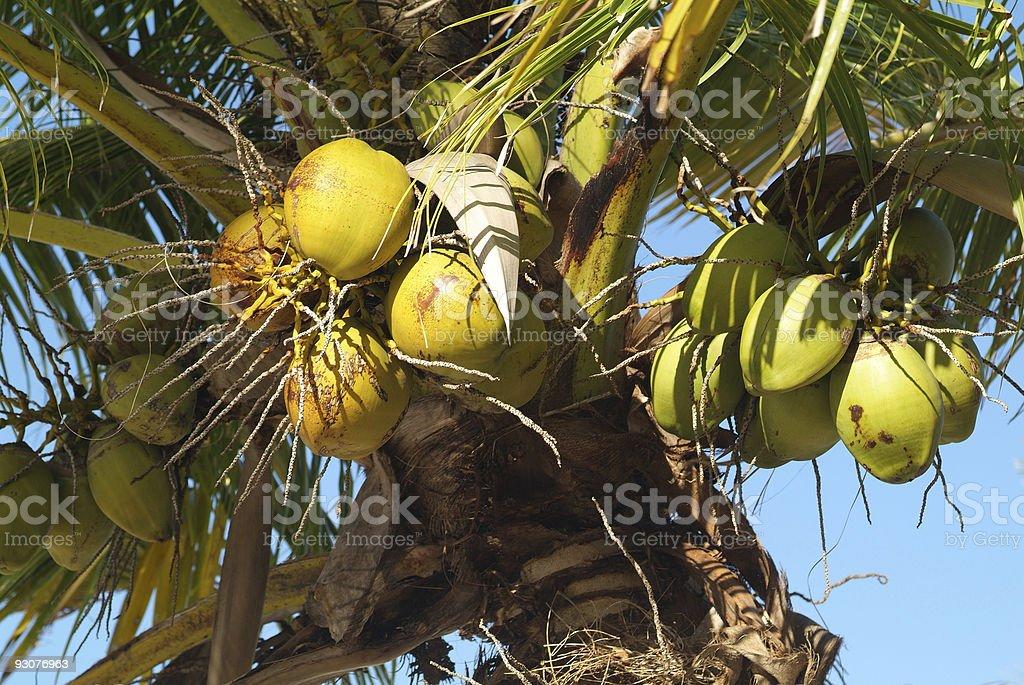 Botany, Coconut stock photo