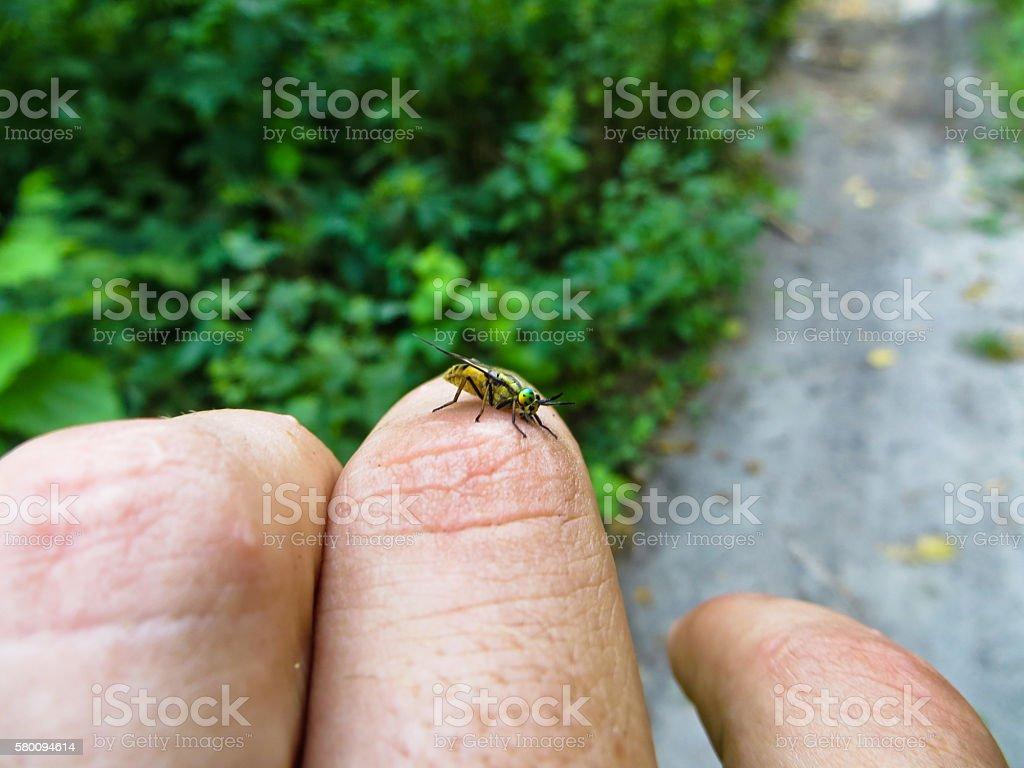 Botfly on a finger stock photo