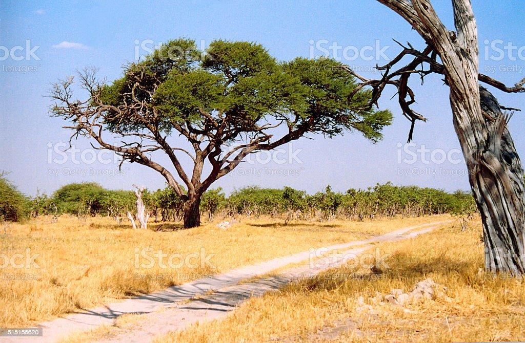 Botswana: Grass, Marula Tree and Safari Track stock photo