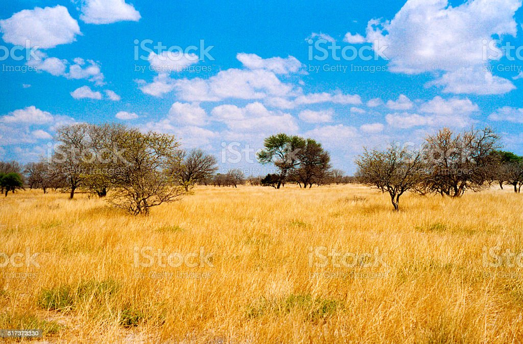 Botswana Grasslands: Yellow Grass, Blue Sky, Puffy Clouds stock photo