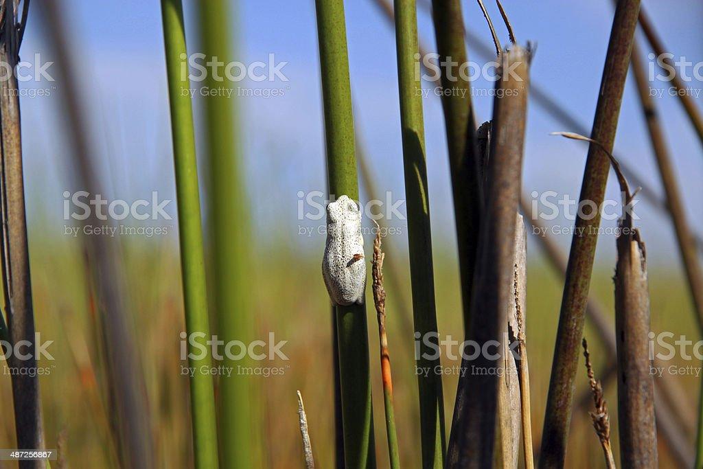 Botswana: Marbled Reed Frog in the Okavango Delta stock photo