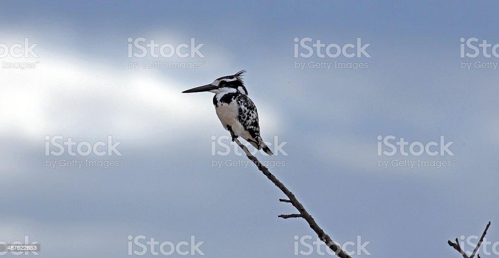 Botswana: Pied Kingfisher at Chobe National Park stock photo