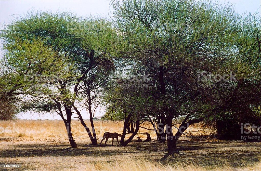 Botswana Safari: Cheetah Family Among Trees stock photo