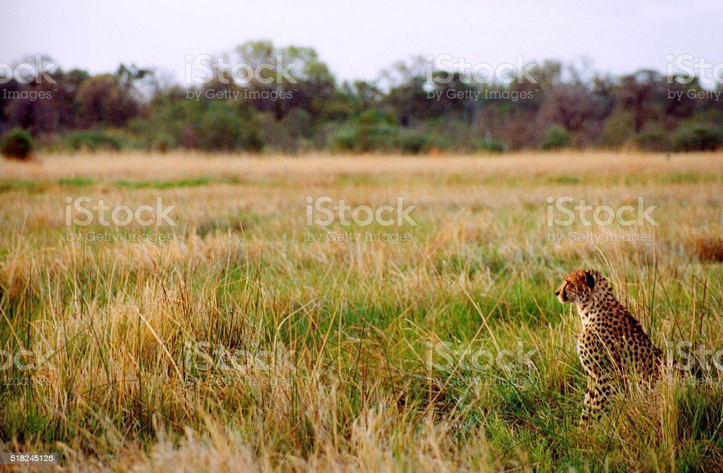 Botswana Safari: Cheetah Sitting at Attention in Grass, Golden Hour stock photo