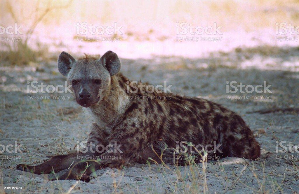 Botswana Safari: Hyena Lying on Ground Looking at Camera stock photo