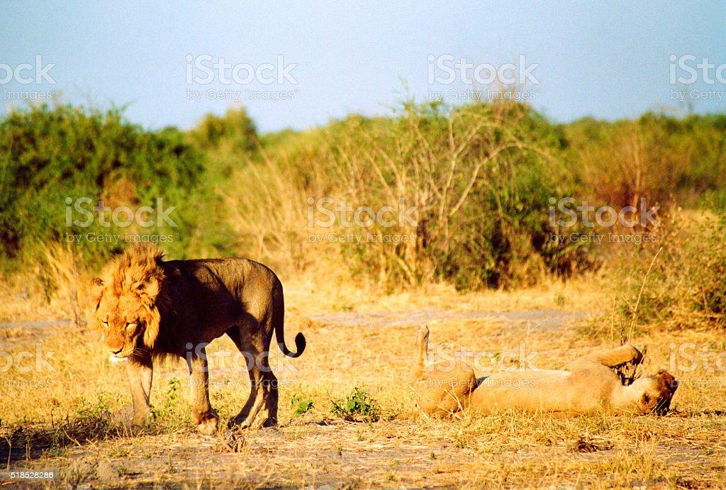 Botswana Safari: Lion Couple During Mating Ritual, Golden Hour stock photo