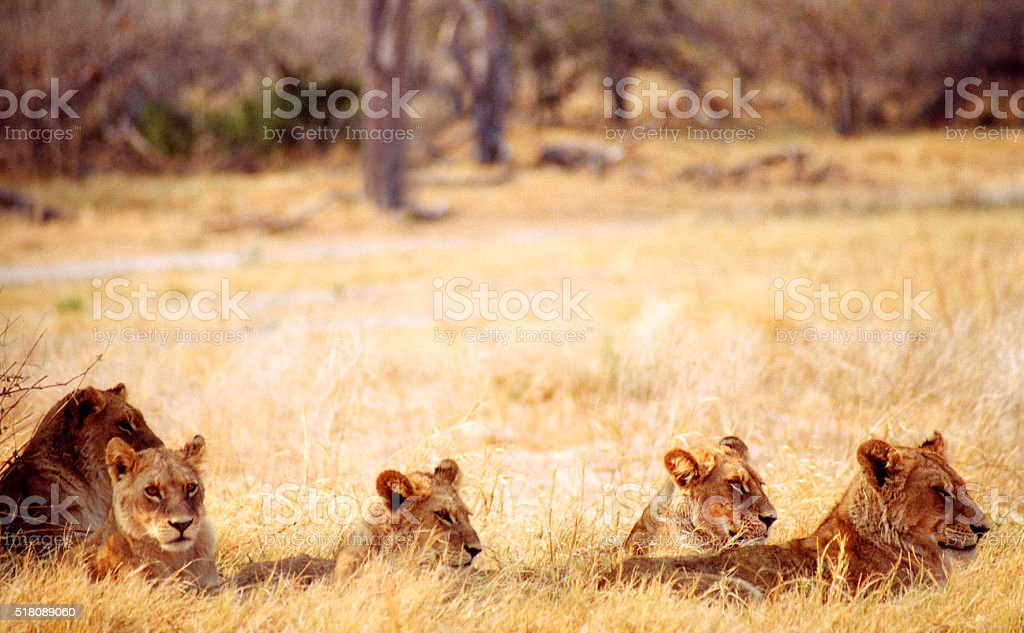 Botswana Safari: Lion Cubs in Yellow Grass stock photo