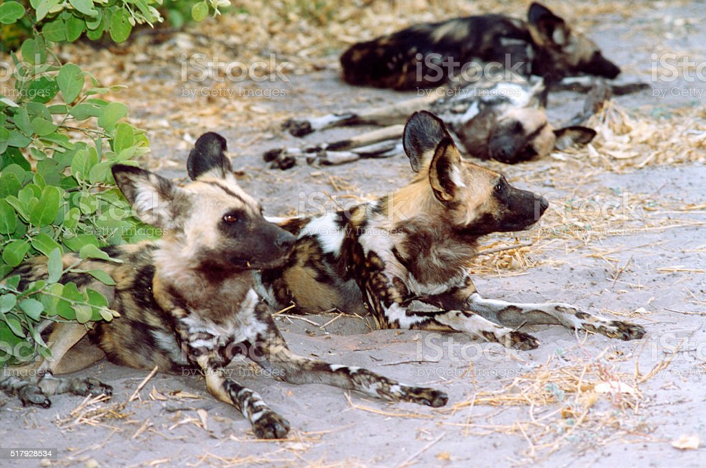 Botswana Safari: Pack of African Wild Dogs, Resting (Close-Up) stock photo