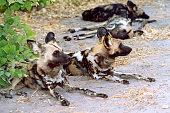 Botswana Safari: Pack of African Wild Dogs, Resting (Close-Up)
