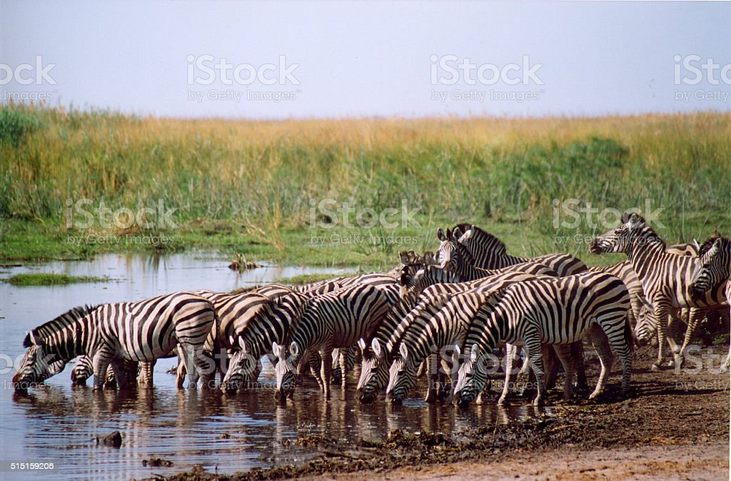 Botswana Safari: Zebras Drinking at Watering Hole stock photo