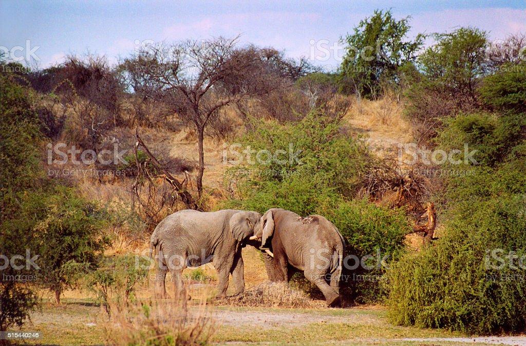 Botswana: Two Elephants Fighting stock photo