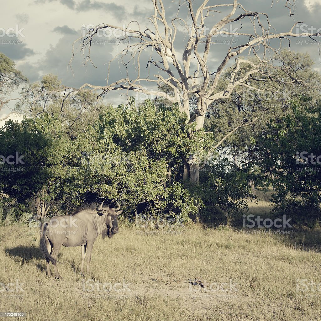Botswana wildebeest observing the natural beauty of his area royalty-free stock photo