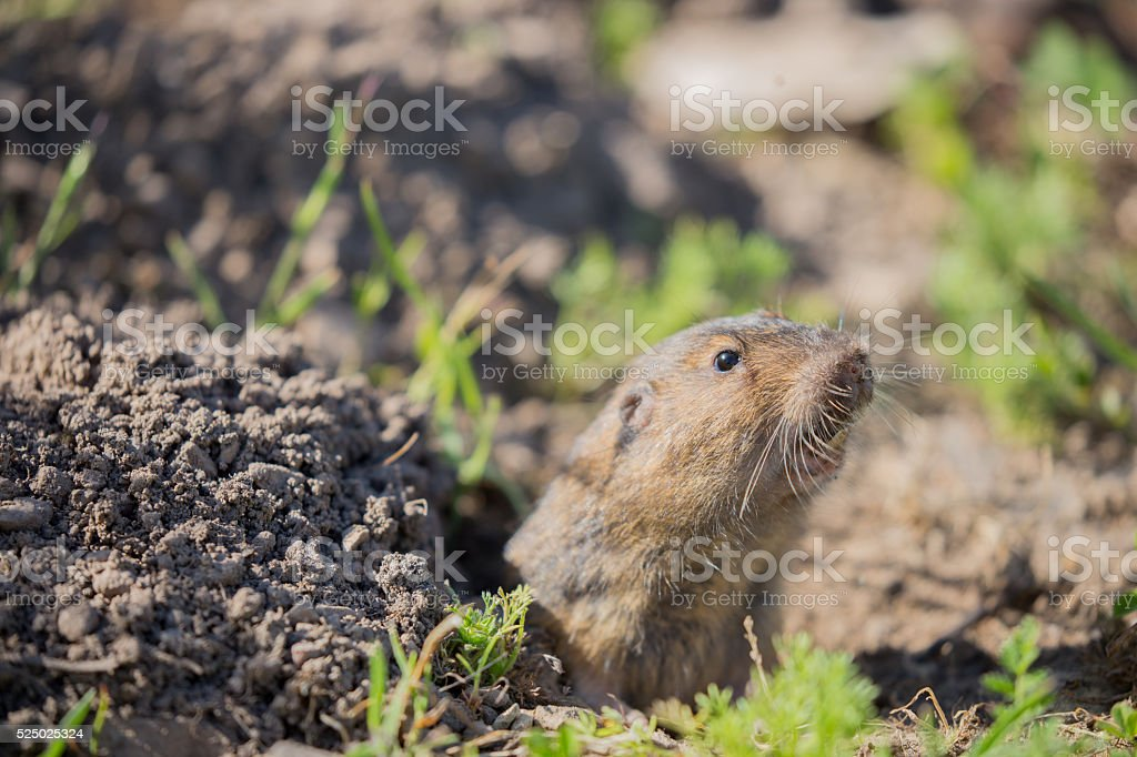 Botta's Pocket Gopher - Thomomys bottae stock photo