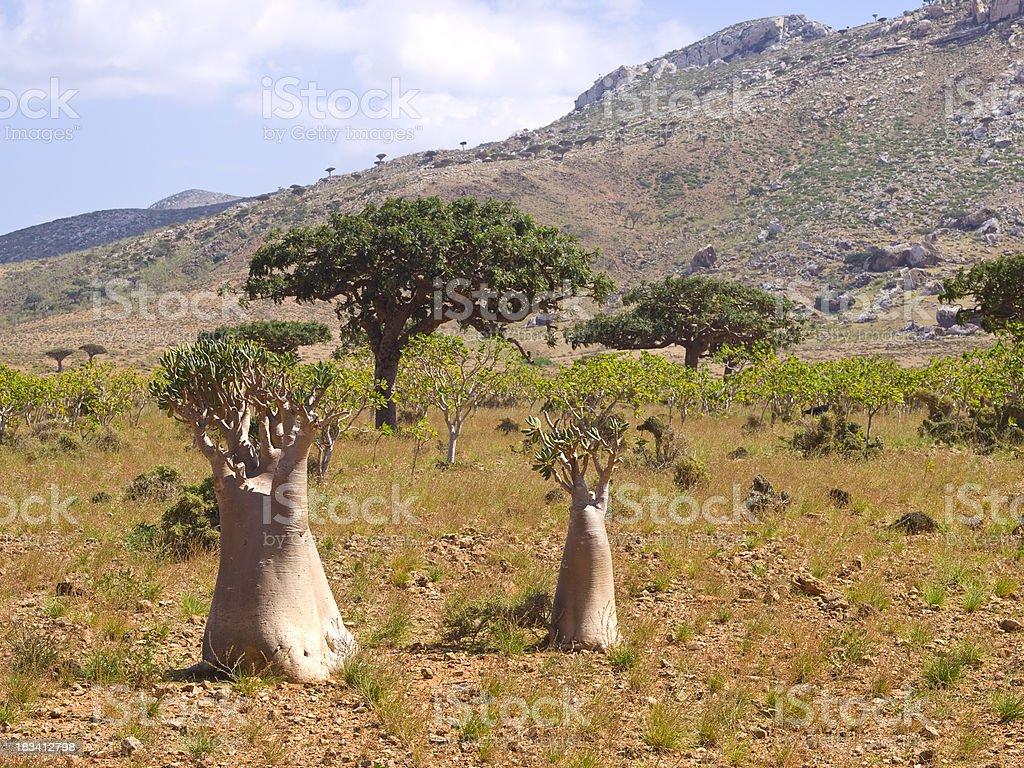 Bottle and Myrrh trees royalty-free stock photo