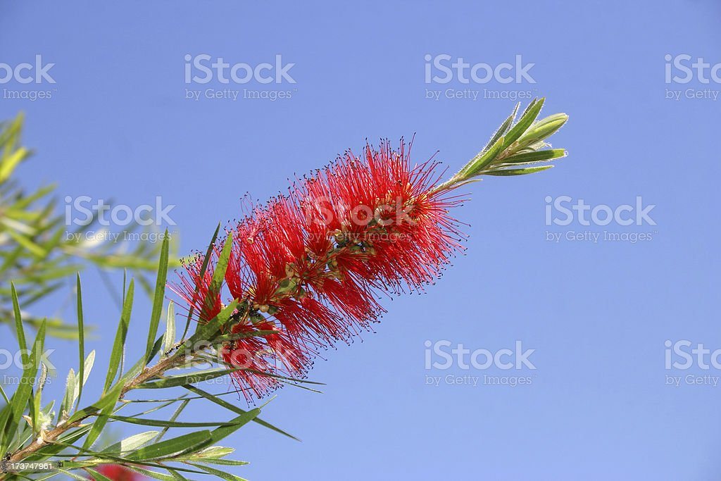 bottle brush bloom royalty-free stock photo