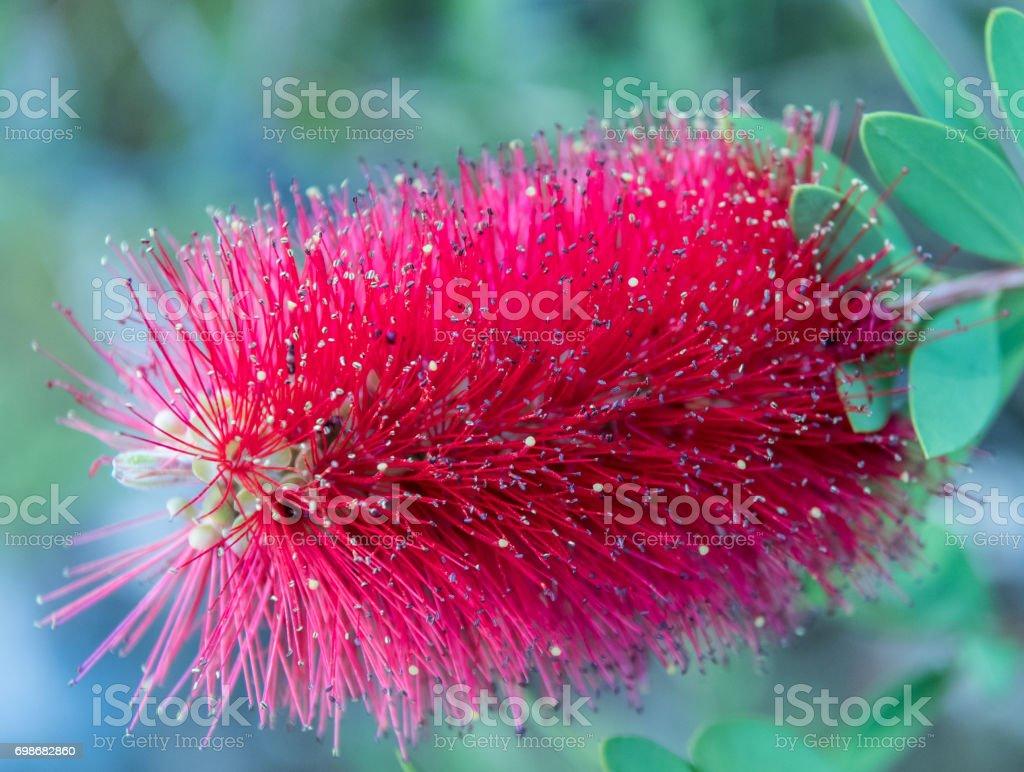 Bottle Brush plant - Callistemon stock photo