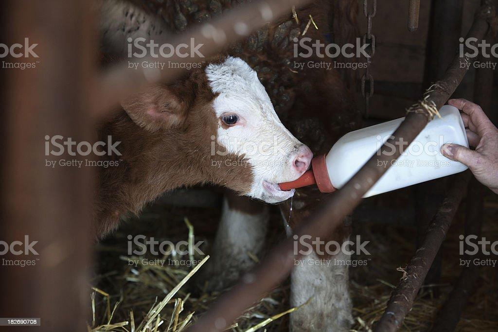 Bottle Feeding Calf royalty-free stock photo