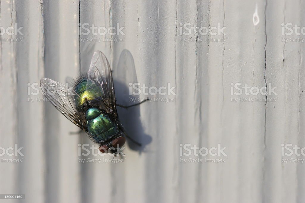 Bottle Fly royalty-free stock photo