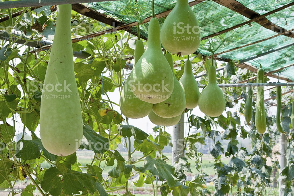 bottle gourd and winter melon royalty-free stock photo