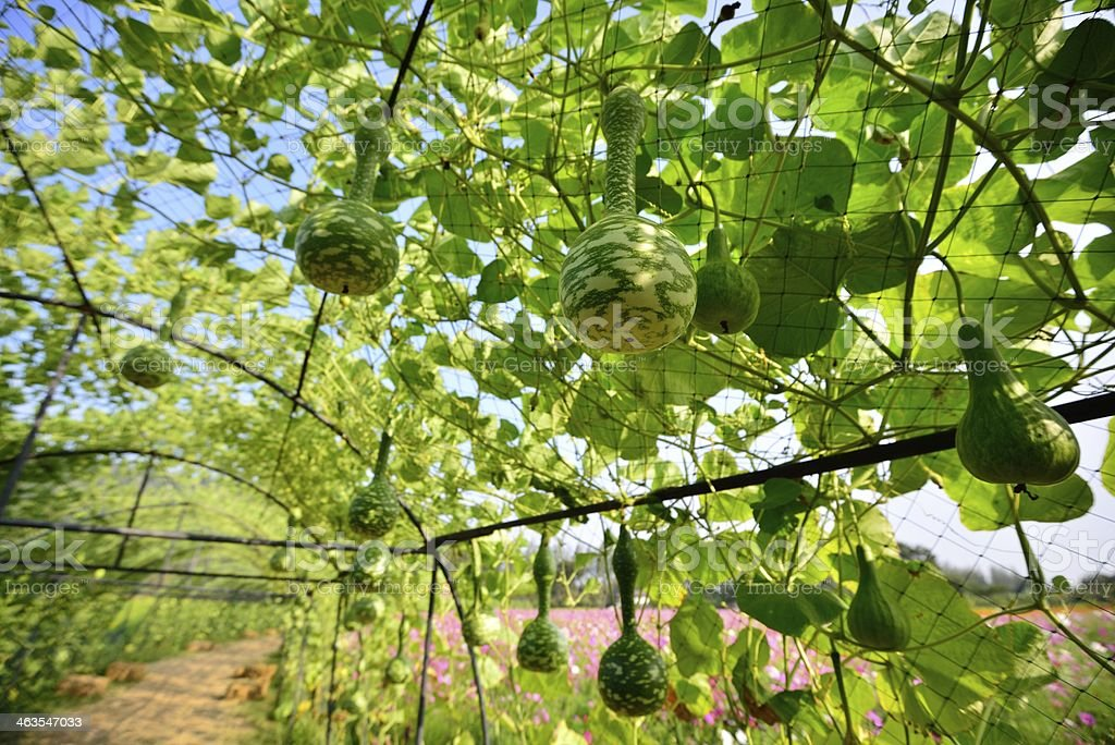 Bottle Gourd hanging from the Tree stock photo