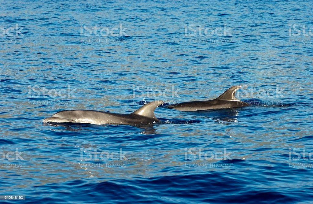 Bottle Nose Dolphin stock photo
